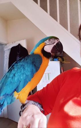 gold Macaw Looking For A Forever Homes