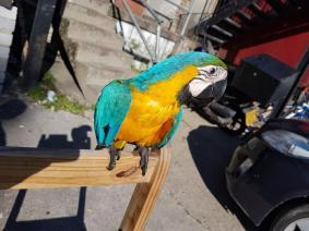2 Years Old Gold Blue Macaw Female With Java Tree