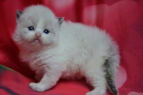 Snow White Gccf Reg Radgoll Kittens Ready For Sale