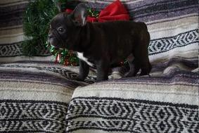 Blue French Bulldog Puppies For Adoption