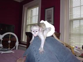 Daiper Trained Capuchin Monkey For Good Homes