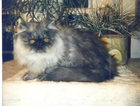 Gorgeous 8 Month Old Black Smoke Persian Male