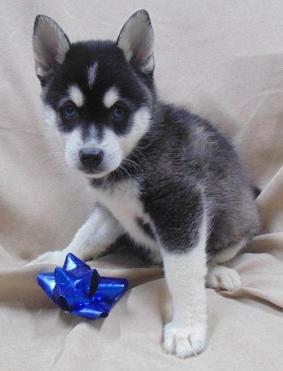 Very Sweet Alaskan Klee Kai Puppies For Sale