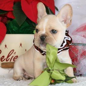 Home Raised Potty Trained French Bulldog Puppies For Sale