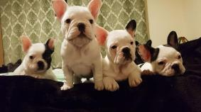 5 Qualitykc French Bulldog Puppies Ready Now