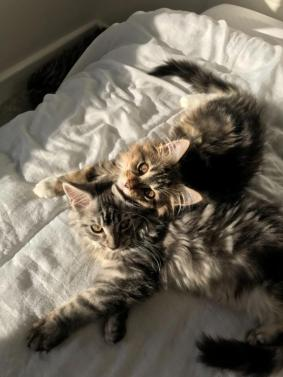 Tica Registered Maine Coon Kittens