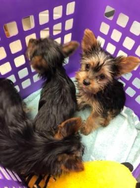 akc Yorkshire Terrier Puppies Available