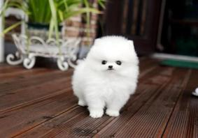 Teacup Size Pomeranian Puppies For A Home