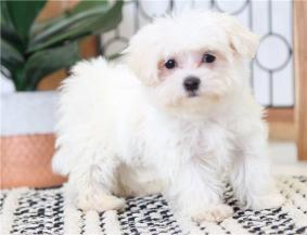 Farrah  playful Female Maltese Puppy