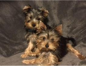 pedigree Yorkshire Terrier Puppies