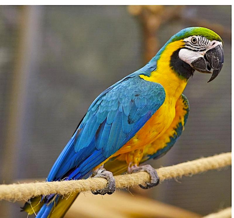 Houston : Amazing Pair Of Blue And Gold Hyacinth Macaw For
