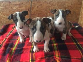 2 Female Bull Terrier Puppies