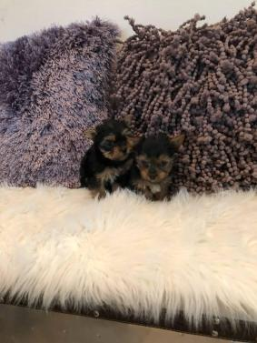 Akc Female Yorkshire Terrier Puppies
