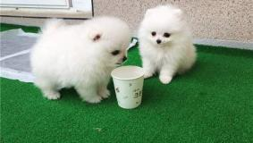 Tiny Pomeranian Puppies