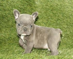 for One French Bulldog Puppy For Available Now