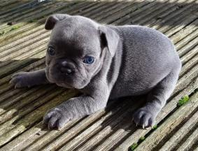 Akc French Bulldog Puppies