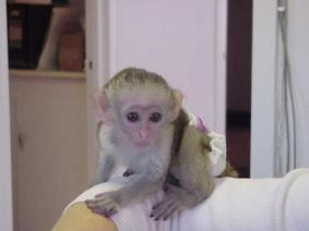 Charming Male And Female Capuchin Monkeys For Sale