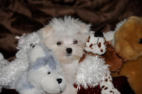 Very Lovely Maltese Puppies