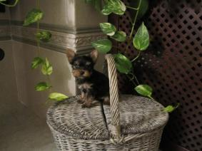 Home Raised Yorkie Puppies For Re Homing
