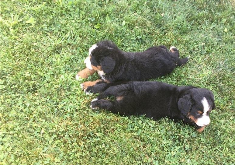 San Diego Bernese Mountain Dog Puppies Bernese Mountain Dogs