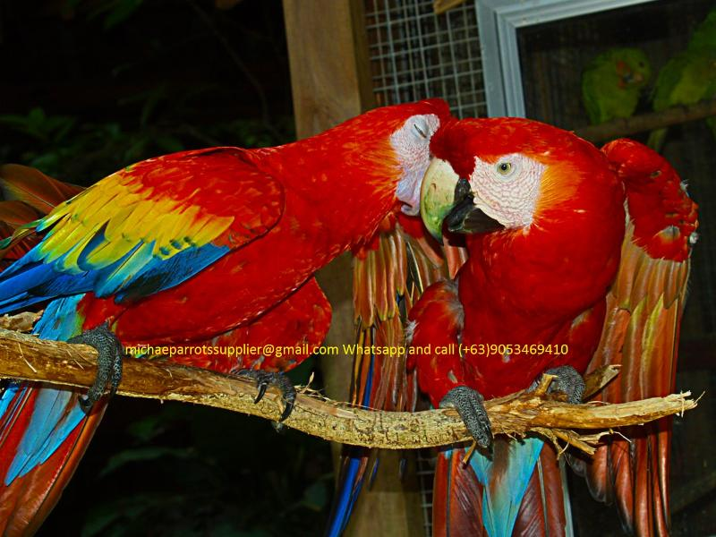South Australia : Available Hyacinth Macaw Scarlet Macaw For