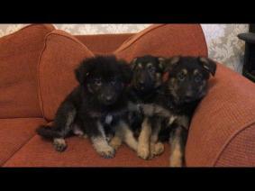 German Shepherd Dogs nearby sale Listings - Classified Ads