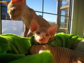 Bloodline Champion Sphynx Kitten