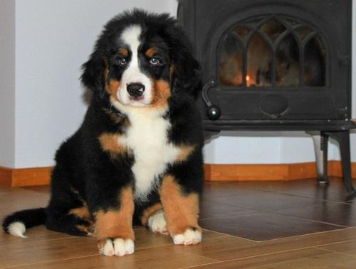 Chicago Friendly Bernese Mountain Dog Puppies Bernese