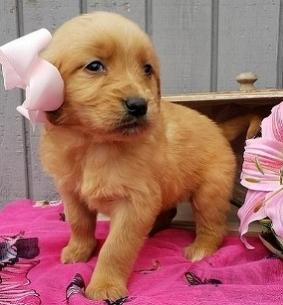 Wisconsin : Dogs & Puppies nearby sale Listings - Classified Ads