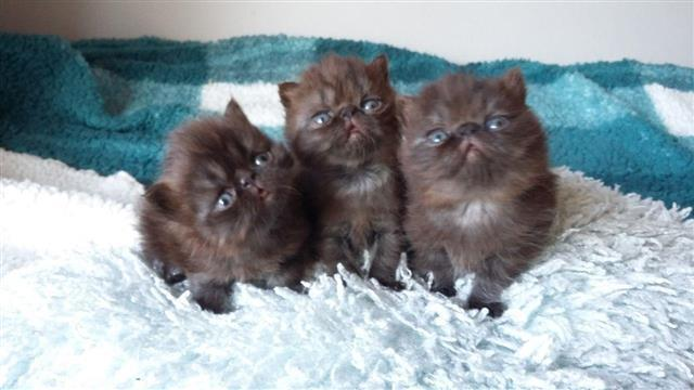 Maine : Persian Kittens For Sale Persian cat