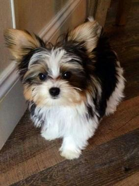 Idaho : Dogs & Puppies nearby sale Listings - Classified Ads