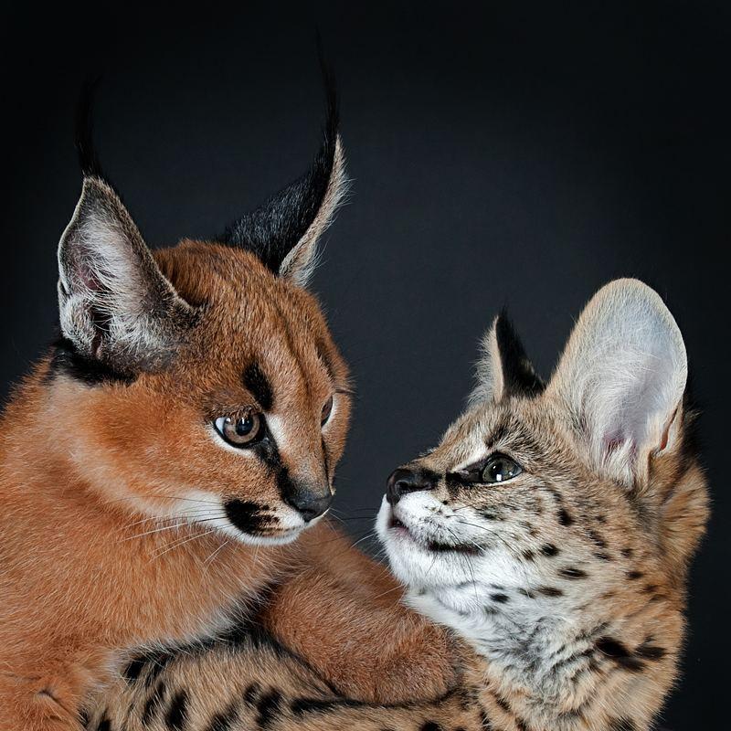 Lexington : Caracal Kitten Savannah Kittens And Serval ...