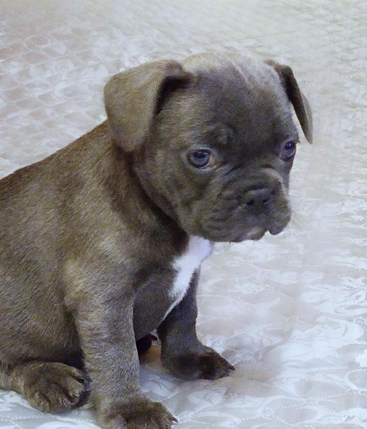 Albany : French Bulldog Puppies For Sale French Bulldogs